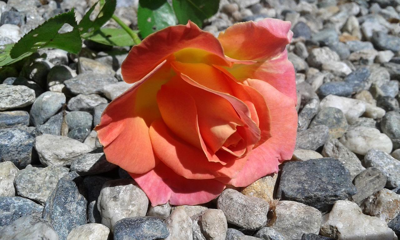 rosa-1636412_1280